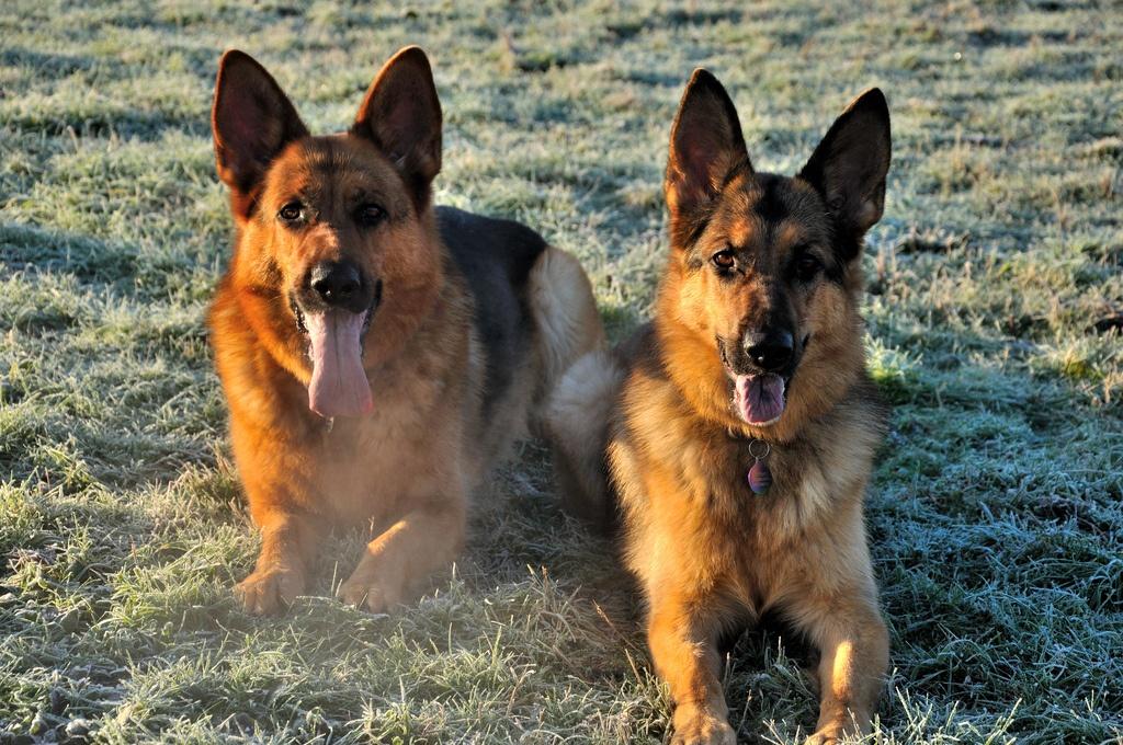 deux berger allemand